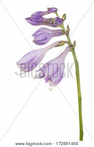 Hosta Flower Isolated