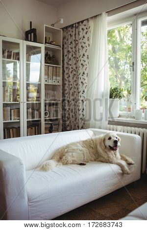 Pet dog relaxing on a sofa at home