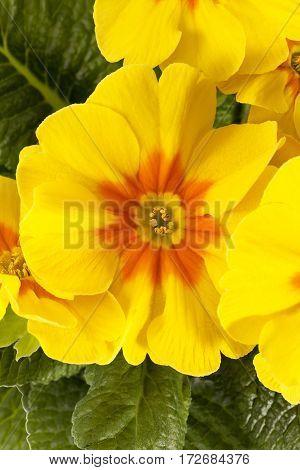 Spring flower of yellow Primula vulgaris white background