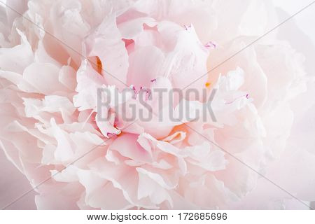 Close up of pink peony flower in drops of dew on petals. Floral background.