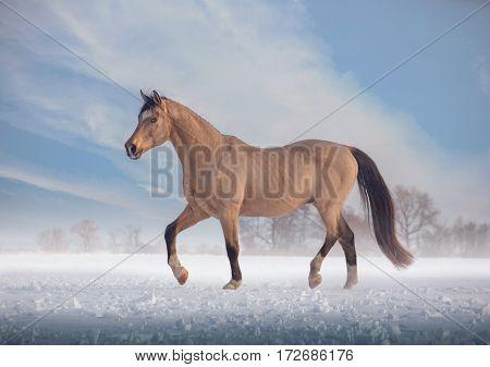 Buckskin stallion steps on snow in winter on sky background