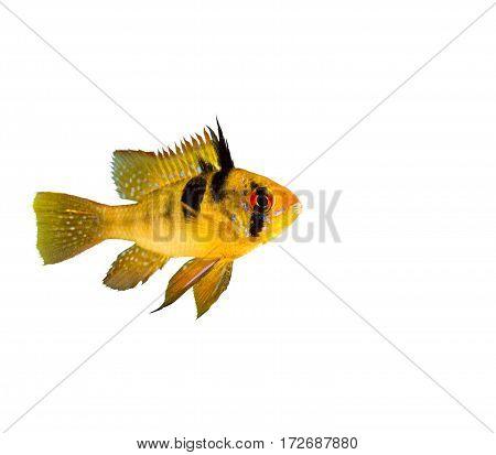 aquarium fish, freshwater fish, tropical fish, colourful fish