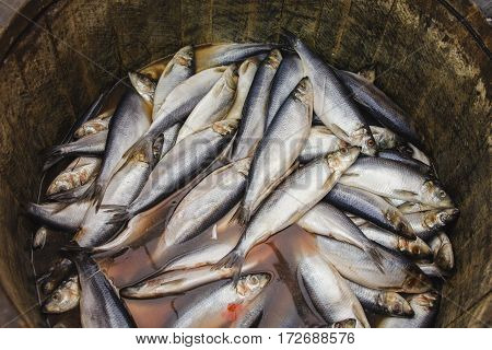 Herring in a wooden barrel - sea fish, close up