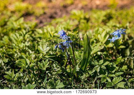 Spring flowers, Scylla, bluebell symbol of spring