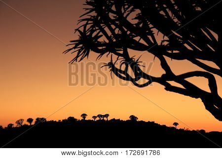 Appeasing scenery of a namibian quivertree forest
