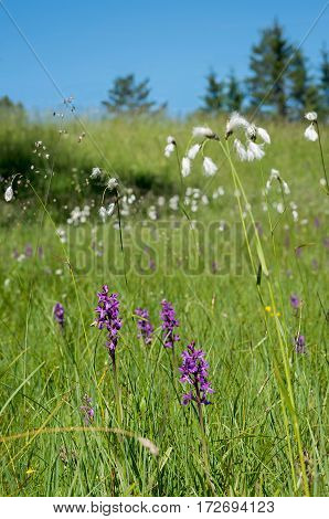 marsh area with dactylorhiza orchis and bog cotton flowers