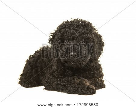Black labradoodle puppy facing the camera seen lying on the floor isolated on a white background