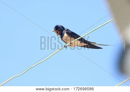 Swallow  singing on wire and singing early in springtime
