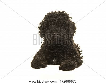 Black labradoodle puppy facing the camera seen lying on the floor seen from the front isolated on a white background