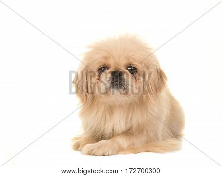 Blond adult tibetan spaniel dog seen from the front lying on the floor facing the camera isolated on a white background