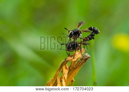 Wildlife acrobatics - coupling act in wasp family.