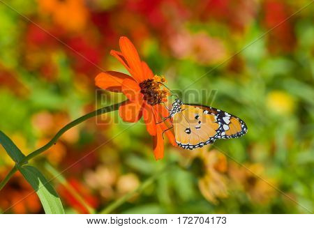 Beautiful orange flower in pair with Monarch butterfly in a summer garden.