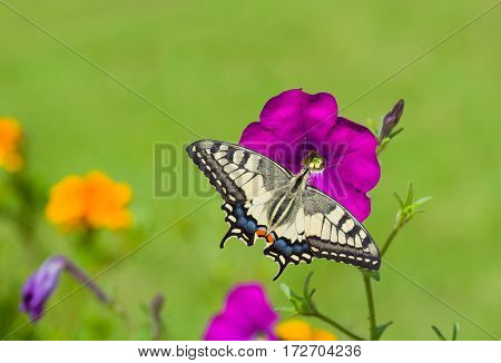 Beautiful petunia flower is feeding machaon butterfly.