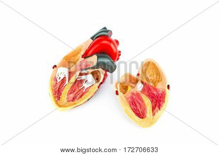 Inside human heart model isolated on white background