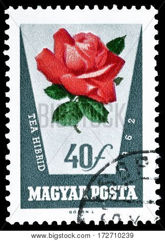 HUNGARY - CIRCA 1962 : Cancelled postage stamp printed by Hungary, that shows Rose.