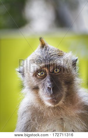 Macaque Monkey looking directly at the camera