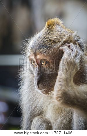 Macaque Monkey with his foot by his ear, as if answering the telephone