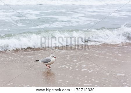 A lone seagull walks on cold winter beach