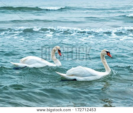 Two white swans family at blue sea. Love forever