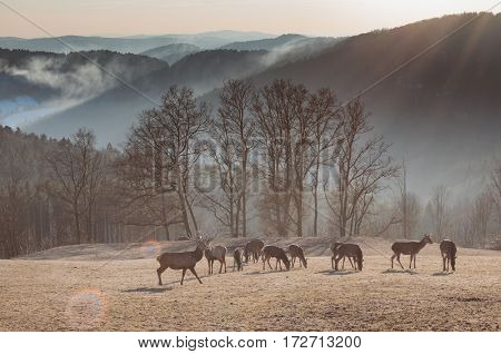 Herd of wild deers in national park, foggy mountain landscape.