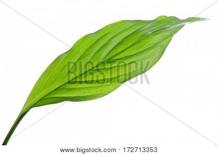 Green leaf Isolated on a white background