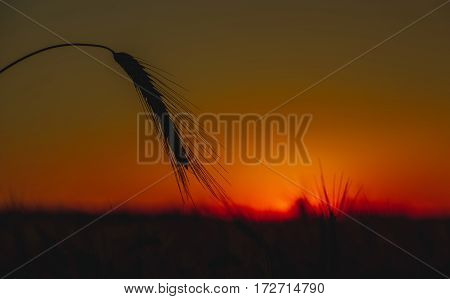 Spikelets of wheat close up on a background sunset.