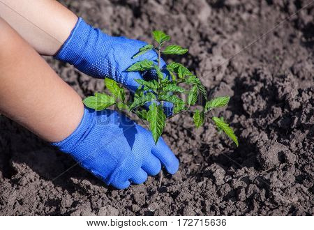Agronomist Planting Tomato Seedling Small Spring In Open Ground. Gardening Work Growing Vegetables A