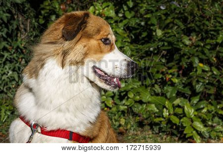 Side portrait of a large white and brown dog