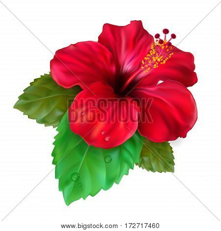 Beautiful blooming tropical flower red hibiscus is also called Chinese Rose. The symbol of Malaysia Korea and Hawaii. Vector Illustration.