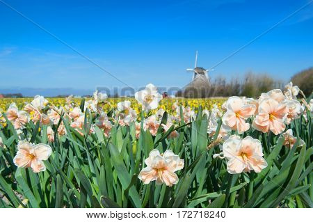 Typical Dutch landscape with Daffodils in the fields and windmill behind at the horizon