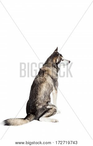 Alaskan Malamute sitting in front of white background. Dog sitting with his back to the camera