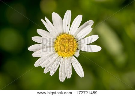 Beautiful floral background, gentle white chamomile flower with dew drops on petals, greeting card for 8 march womans day divination concept.