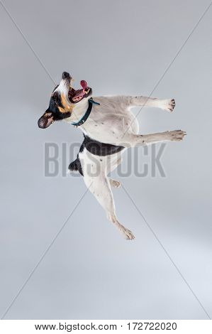 Fox terrier posing in studio on grey background. Terrier in a blue collar. Dog jumping in the studio