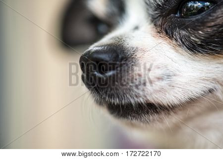 a tiny chihuahua dog portrait, extreme closeup macro shot. With world reflected in its eyes. Emotional picture.