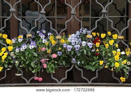 Garden / Pansy - beautiful summer flowers.