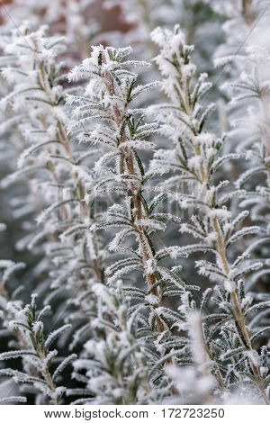 Frost Rosemary Plant With Blurred Winter Background