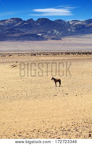 Beautiful landscape with wild horse in the Succulent Karoo Desert (Namib) Namibia Africa