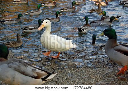 A solitary white feathered duck standing on a frozen stream amid a flock of wild mallard ducks in the winter in Hampshire England.