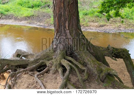 old tree with eroded roots high above the sand