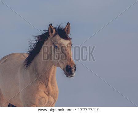 Portrait of buckskin stallion on sky background