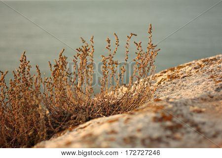Sunset. Gold Grass On Sandy Beach. Background