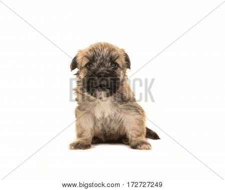 Four weeks old brown boomer dog puppy sitting facing the camera with its mouth open isolated on a white background
