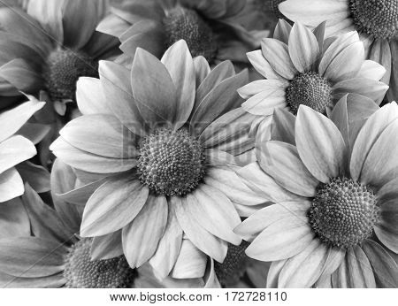 Flowers Daisies black-white. close-up. floral collage. Spring composition. Nature.