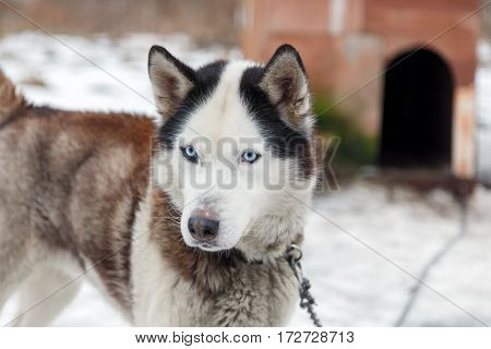 Dog Huskies tied in the yard, in winter