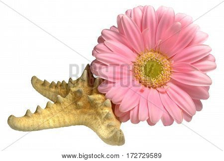 Composition of pink gerbera flowers flower and starfish. Isolated on white background