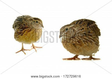 two partridge isolated on a white background, studio shot