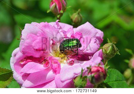 Rose Chafer (cetonia Aurata) On Flower
