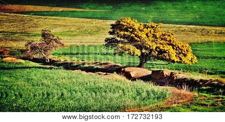Landscape with an yellow blooming mimosa tree