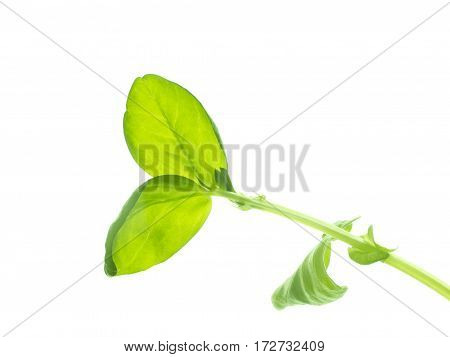 The green young sprout isolated on white background