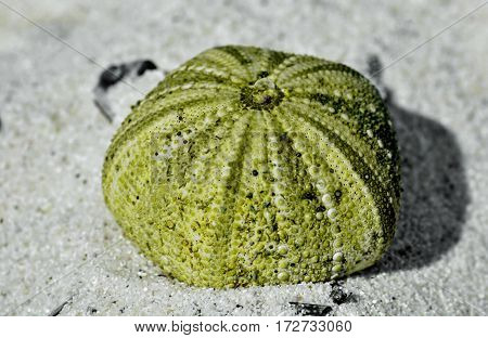 Close up of Sea urchin shell on beach sand